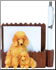 Apricot Poodle Pet Note Holder (SKU: DBBreed-ApricotPoodlePetnotes)