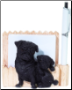 Black Pug Pet Note Holder